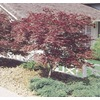  3.25-Gallon Red Japanese Maple Tree (L3165)