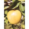 3.25-Gallon Yellow Delicious Apple (L3207)