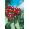  3.25-Gallon Bing Cherry (L1393)