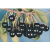 3.25-Gallon Black Tartarian Cherry Tree (L1256)