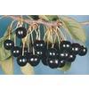 3.25-Gallon Black Tartarian Cherry Tree (L1256)