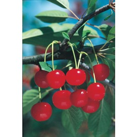 3.25-Gallon Montmorency Cherry (L1400)