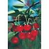 3.25-Gallon Montmorency Cherry Tree (L1400)
