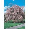  5.5-Gallon Weeping Cherry Tree (L1010)
