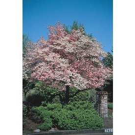 3.25-Gallon Red Flowering Dogwood (L1022)