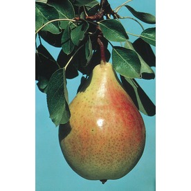 3.25-Gallon Ayers Semi-Dwarf Pear Tree (L6148)