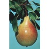 3.25-Gallon Ayers Semi-Dwarf Pear (L6148)