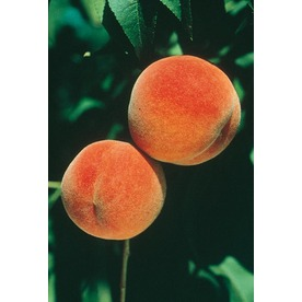 3.25-Gallon Red Haven Semi-Dwarf Peach Tree (L3655)