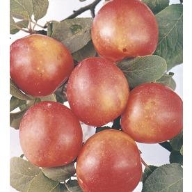 3.74-Gallon Bruce Plum Tree (L1345)