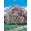 5.5-Gallon Weeping Cherry Tree (L3232)