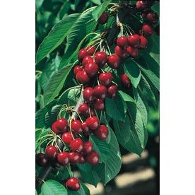 3.25-Gallon North Star Cherry Tree (L4546)