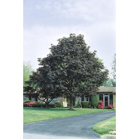 5.5-Gallon Crimson King Norway Maple (L3166)