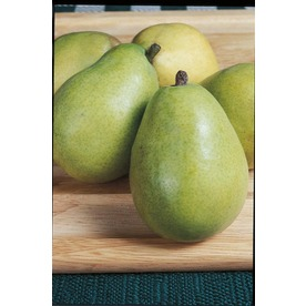 3.25-Gallon DAnjou Pear Tree (L10496)