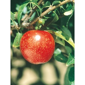 3.25-Gallon Semi-Dwarf Ozark Premier Plum Tree (L4547)
