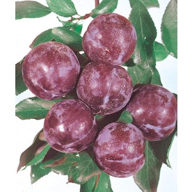 3.25-Gallon Toka Plum (L7708)