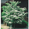 3.25-Gallon Kousa Dogwood (L1140)