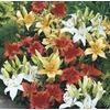 Monrovia 2.5-Quart Asiatic Lily (LW01857)