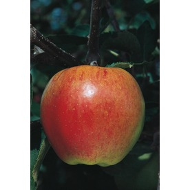 3.25-Gallon Jonagold Apple (L7675)