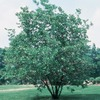 2.25-Gallon Sweet Bay Magnolia (L1239)