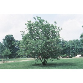 5.5-Gallon Sweet Bay Magnolia Tree (L1239)