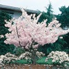 24.5-Gallon Yoshino Flowering Cherry (L3234)