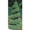  1.5-Gallon Spiral Dwarf Alberta Spruce (L7230)