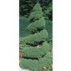 1.5-Gallon Spiral Dwarf Alberta Spruce (L7230)