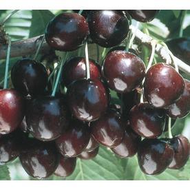 3.74-Gallon Supersweet Cherry Tree (L24796)