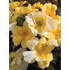 3.7-Quart Sunny Knock Out Rose (L20529)