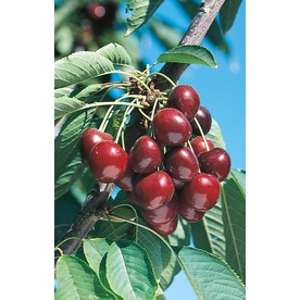 3.25-Gallon Stella Cherry Tree (L10481)
