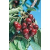 3.25-Gallon Stella Cherry (L10481)