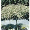 3.25-Gallon Dappled Willow Tree (L11651)