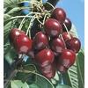 3.74-Gallon Stella Cherry Tree (L10481)