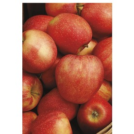 3.25-Gallon Honeycrisp Apple (L11893)