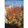 3.25-Gallon Vine Maple Tree (LW00233)
