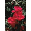 3.25-Gallon Knock Out Rose (L10923)