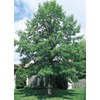 3.25-Gallon Bur Oak (L1102)