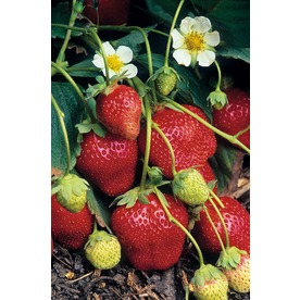 3-Quart Everbearing Strawberry Mix Small Fruit (L4487)