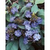  3.25-Gallon Plumbago (L11270)
