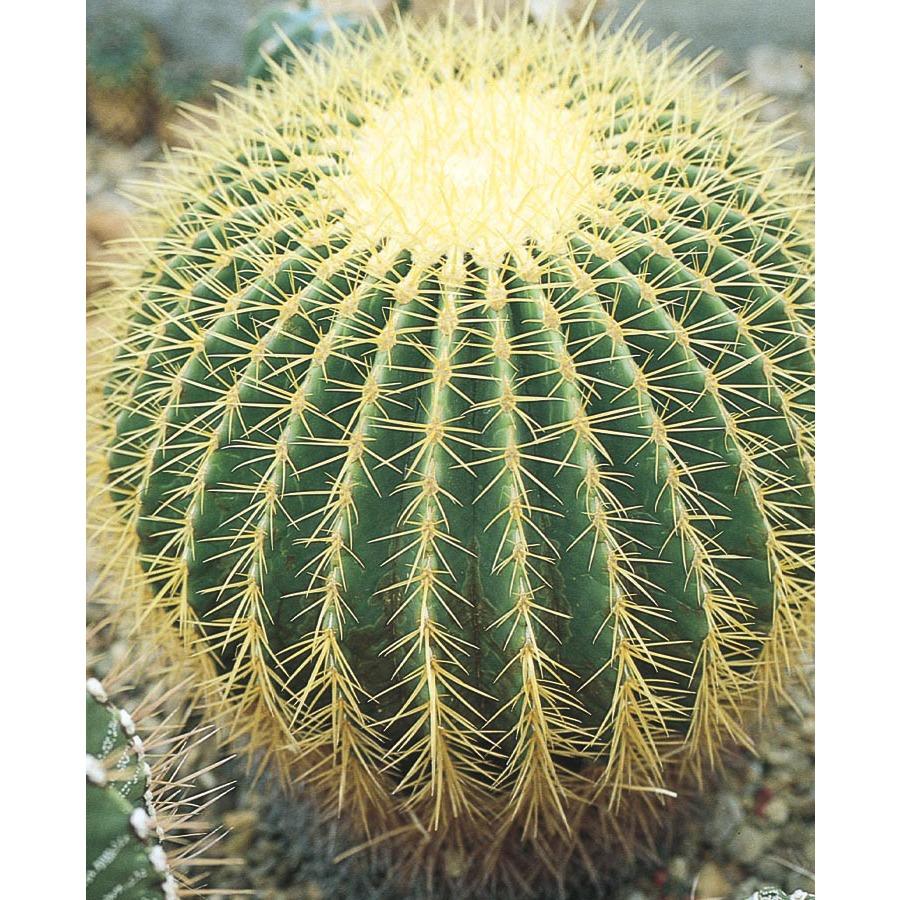Shop 2 5 Gallon Yellow Golden Barrel Cactus L11717 At