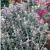 2.25-Gallon Container Bush Germander (L11777)