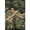  10.25-Gallon Honey Mesquite Tree (L14932)