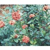 1.25-Quart Mixed Ixora (L4348)