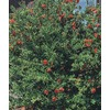 3.5-Gallon Red Dwarf Pomegranate (L5944)