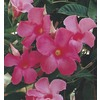 Lawn and Garden Products 1.5-Gallon Dipladenia (L5091)