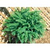 3-Quart Boston Fern (L6751)