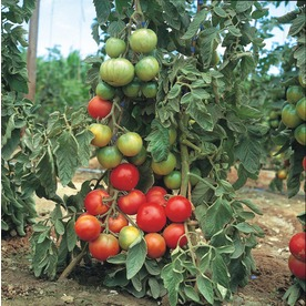 1.25-Quart Tomato Assortment Plant (L14917)