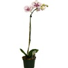 BETTER-GRO 1.75-Quart Orchid Temporary (002)