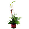 BETTER-GRO 1.95-Quart Moth Orchid in Planter