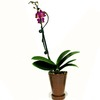 BETTER-GRO 0.75-Pint Orchid Temporary (001)